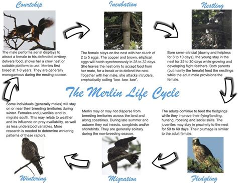 bird life cycle stages yahoo image search results