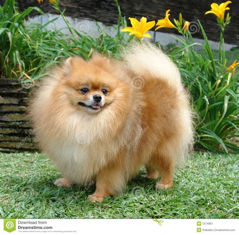 perros pomeranian perro de pomerania de pomeranian imagen de archivo imagen 1274901