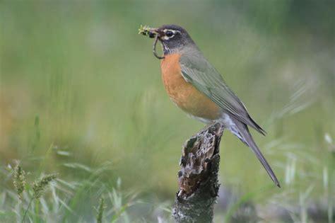 hinterland who s who american robin