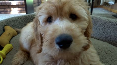 goldendoodle puppy images goldendoodle puppy at 10 weeks funnydog tv
