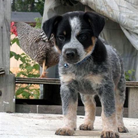 newborn blue heeler puppies 33 best images about dogs on blue heeler cattle and miniature cattle