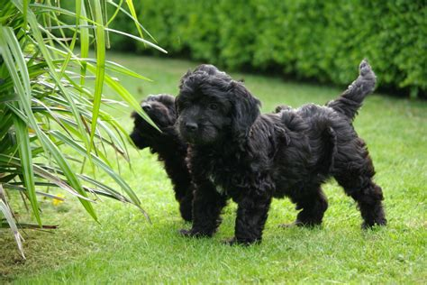 black cockapoo puppies black cockapoo puppy