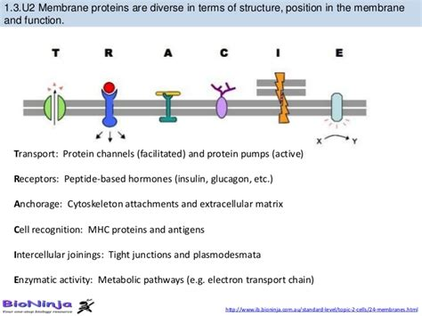bioknowledgy dp  membrane structure