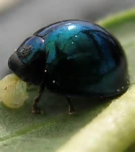 photo la coccinelle bleu acier