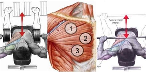 dumbbell vs barbell bench chest workout dumbbell vs barbell bench press which one is better