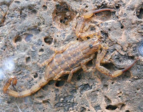 Isometrus Maculatus los 9 escorpiones venenosos de espa 241 a con foto especial