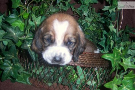 basset hound puppies houston basset hound for sale for 700 near houston 7271750e ea71