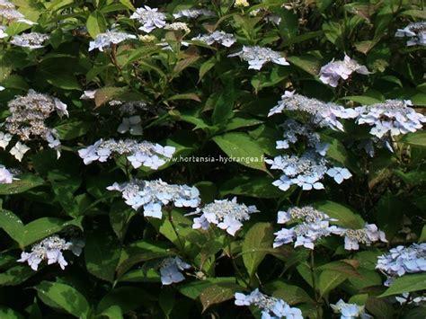 deckenle flur hydrangea serrara blue deckle