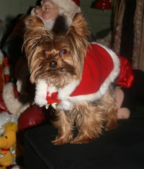 how often to feed a yorkie yorkie barking is your terrier barking breeds picture