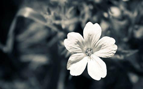 desktop wallpaper black and white flowers black and white flower desktop background photo hd