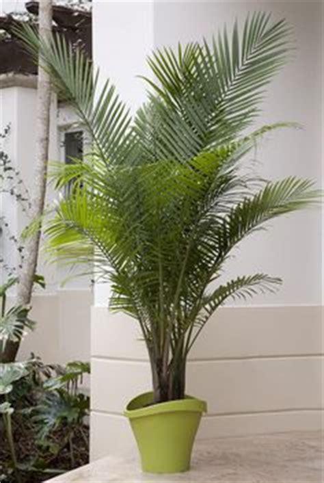 palm tastic patios images indoor plants plants
