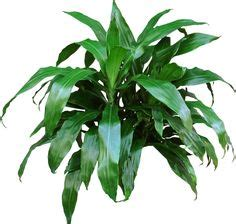 unusual houseplants zz plants  long stems covered