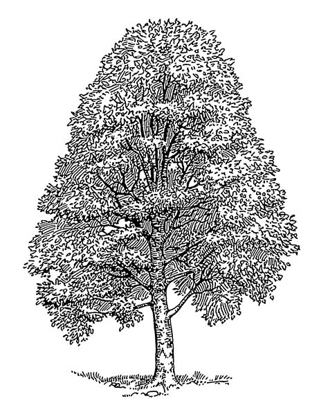 line drawings trees images for gt easy cedar tree drawing trees