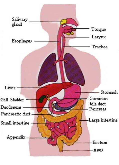 diagram digestive system the diagram of the respiratory system of organ anatomy