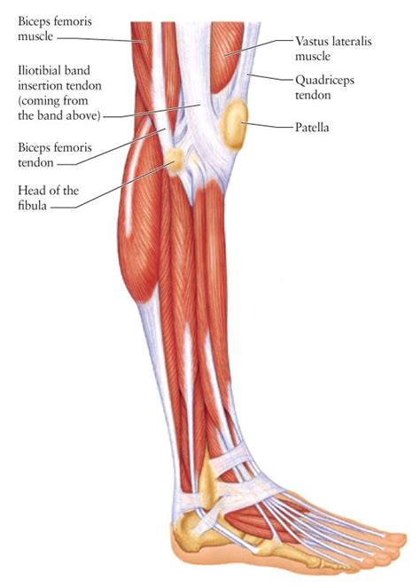 human knee diagram human anatomy for the artist the lateral knee a change