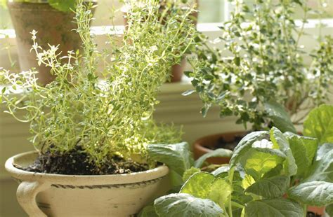 best herbs for container gardening five best herbs for container gardening