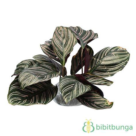 Tanaman Hias Daun Calathea Zebrina tanaman pinstripe calathea jual tanaman hias