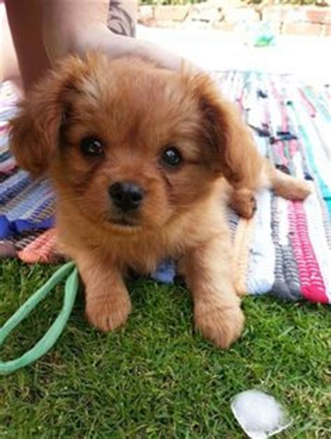 cavalier pomeranian mix 1000 images about cross breeds on pomeranian mix pomeranians and