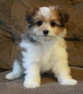 how big does a yorkie pomeranian mix get 300 best images about animals dogs and puppies on poodles