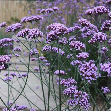 Flower Plants For Garden Buy Verbena Verbena Bonariensis Delivery By Crocus
