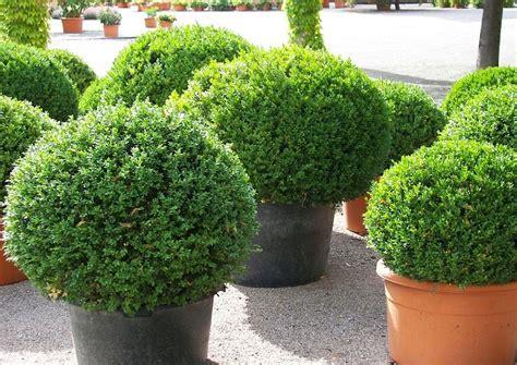 winterharte pflanzen für balkon robuste immergr 252 ne k 252 belpflanze als sichtschutz die