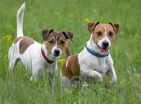 cagnolino da appartamento cani da appartamento piccola taglia le razze perfette