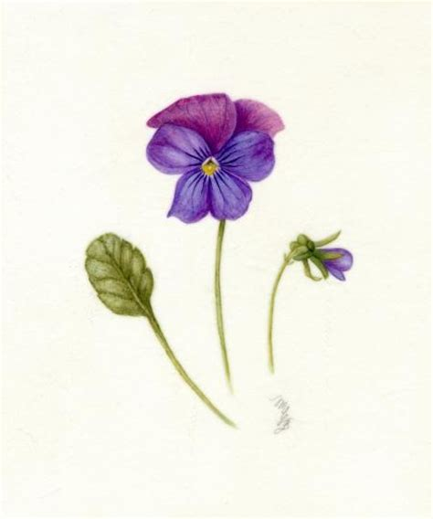 watercolor tattoo violets viola wisconsin state flower ideas