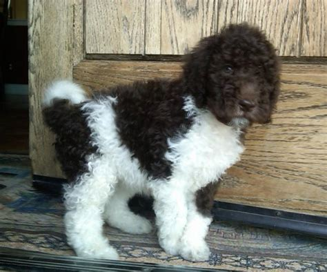 mini colour doodle black and white parti goldendoodles call or email to