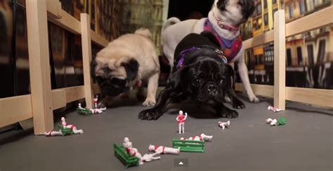running of the pugs these pug reenacting the running of the bulls is hilarious leashes optional
