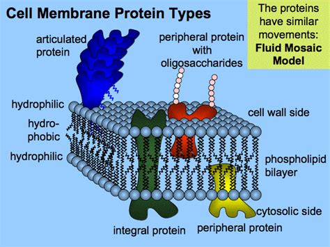 3 proteins in the cell membrane shaper reviews india cardio home workout plan 2