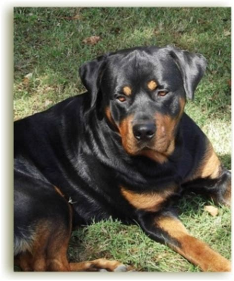 how to stop your rottweiler from shedding the which you can see above is also one of the dogs who can be models picture
