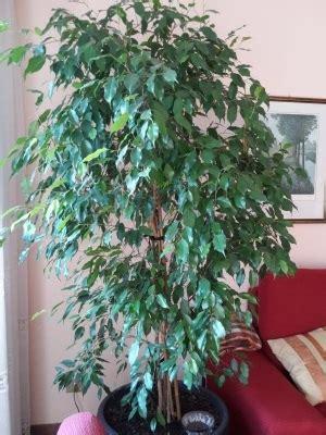 Ficus Benjamin Secco by Ficus Benjamin Perde Foglie Ficus Benjamin Perde Foglie