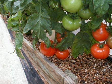 how to grow tomatoes growing tomatoes growing tomato plants