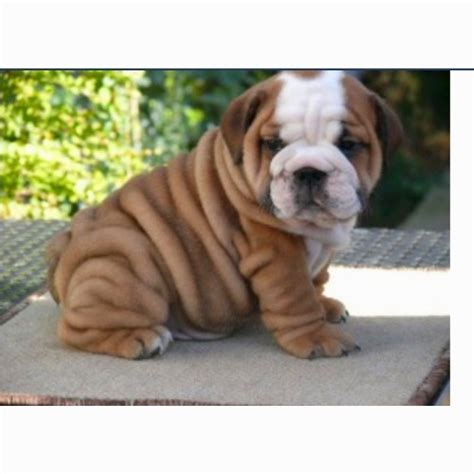 wrinkly puppies i will a wrinkly puppy my favorite dogs puppys and will