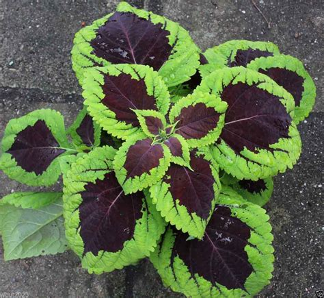 common house plant seeds coleus seeds kong lime sprite coleus 10 pelleted seeds
