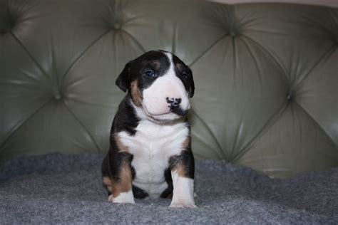 bull terrier puppy for sale staffordshire bull terrier puppies for sale breeds picture