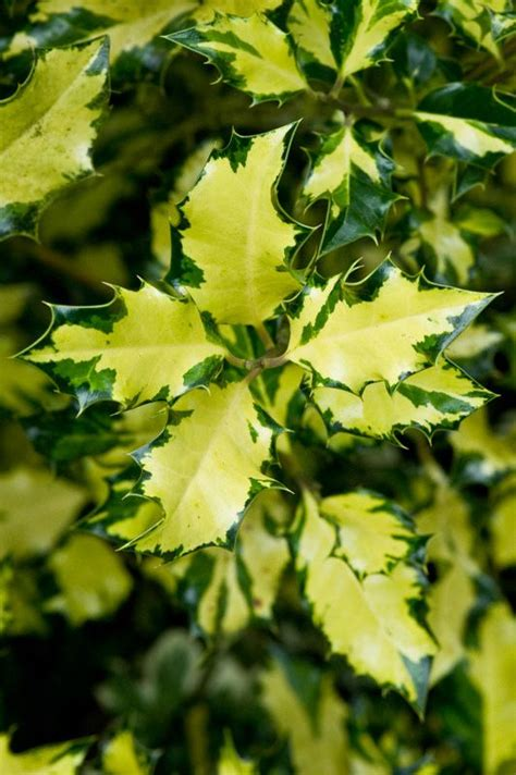 il linguaggio segreto dei fiori libro ilex aquifolium lungimiranza dal libro il linguaggio