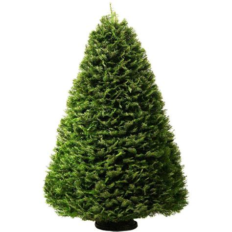 7 8 ft fresh nobel fir shop 7 8 ft grand fir real tree at lowes