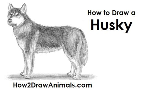 husky puppy drawing image gallery husky drawing steps