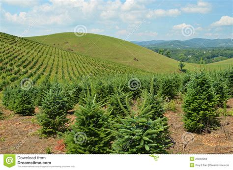 christmas tree farm royalty free stock images image