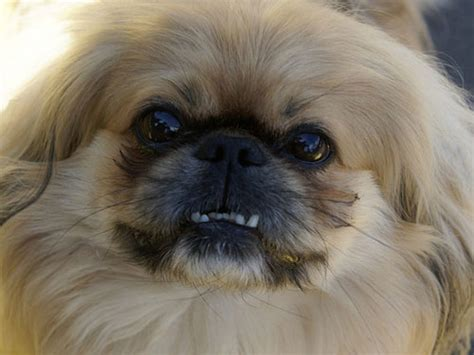 pekingese news stories pictures products pekingeses home