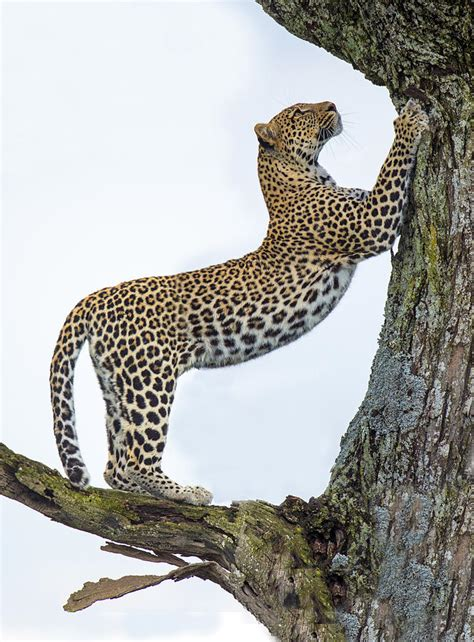 Home Decor Blogs In Tanzania leopard panthera pardus climbing photograph by panoramic