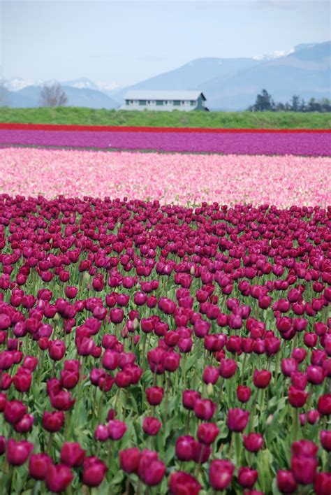 tulip field the skagit valley tulip festival in mt vernon wa
