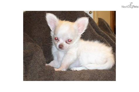 chihuahua puppies for sale in missouri chihuahua puppies for sale kansas city breeds picture
