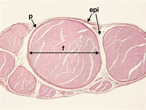 peripheral nerve cross section chapter 8 page 5 histologyolm 4 0