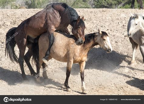 wild horses mating stock photo 169 wes242 168845142