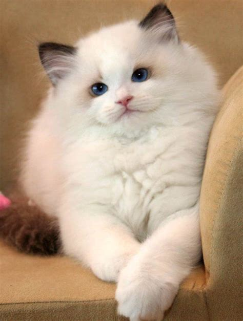 my ragdoll 3d 17 best images about ragdoll on cats