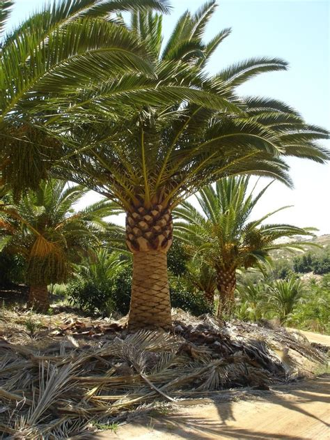 Wholesale Real Trees - 17 best images about palmtrees buy big date palms and