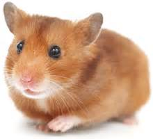 Guinea Pigs Hutches Caring For Your Hamster Pet Goods Online Ltd