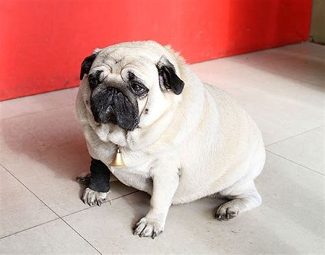 overweight pugs fattest dogs i like a interesting pictures